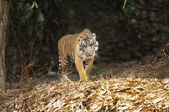 Predator. Tigers stand guarding its territory Royalty Free Stock Images