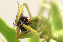 Predator and victim. Mantis eat ant,predator and victim Stock Photography