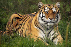 Predator Waiting. A Siberian tiger waits in the grass Royalty Free Stock Photo