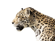 Predator Stock Photography