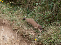 Predator. Weasel is hunting on the coast path near Port Isaac in Cornwall Royalty Free Stock Photos