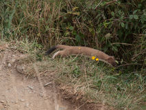 Predator. Weasel is hunting a rabitt on the coast path near Port Isaac in Cornwall Stock Photos
