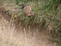 Predator. Weasel is hunting a rabitt on the coast path near Port Isaac in Cornwall Stock Image