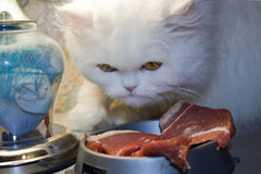 Predator white. Hungry white cat near meat on a kitchen table Royalty Free Stock Photos