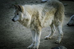 Predator, white wolf resting in the sun beautiful coat Royalty Free Stock Photography