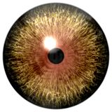 Predator wildlife eyeball, wolf eye, animal eyeball, brown/yellow eye with black pupil and white background.  stock image