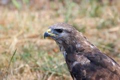 Predator with wings Stock Photos