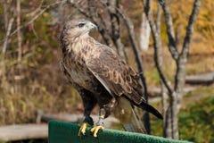Predatore della famiglia del falco Immagini Stock Libere da Diritti