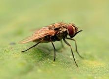 Predatore della mosca Immagine Stock Libera da Diritti