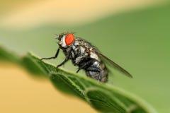 Predatore della mosca Fotografia Stock