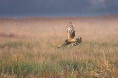 Predatore di gallina Fotografia Stock