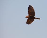 Predatore di palude durante il volo Fotografia Stock Libera da Diritti