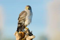 Predatore nordico, Marsh Hawk.  Maschio fotografie stock libere da diritti