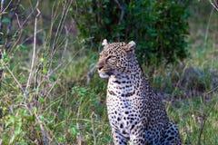 Predators of the savannah. The female leopard posing. Masai Mara, Kenya. Africa Royalty Free Stock Images