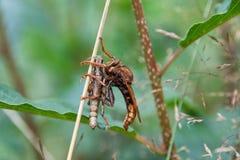 Predatory Asilidae Royalty Free Stock Photo