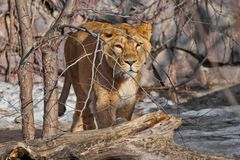 The predatory beautiful and strong lioness the female creeps up from behind the bushes attentively and eagerly looks at you. The look of a big strong cat royalty free stock images