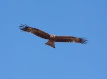 Predatory bird Royalty Free Stock Images