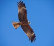 Free Predatory Bird Royalty Free Stock Photos - 15840158