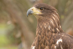 Predatory bird. A brown predatory bird gazing intently off into the distance royalty free stock image