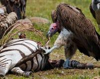Predatory bird is eating the prey in the savannah. Kenya. Tanzania. Royalty Free Stock Images