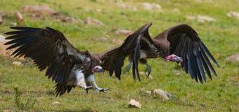 Predatory bird flies to prey. Kenya. Tanzania. Safari. Royalty Free Stock Images