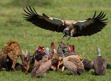 Predatory bird flies to prey. Kenya. Tanzania. Safari. Stock Image