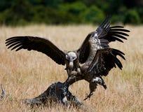 Predatory bird flies to prey. Kenya. Tanzania. Safari. Stock Photo