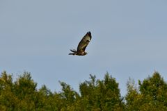 Predatory hawk flying over the forest Stock Image