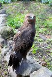 Predatory bird hawk sits on stone Royalty Free Stock Image
