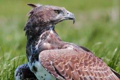 Predatory bird looking over it's shoulder Stock Photos