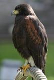 Predatory Bird Stock Photos