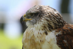 Predatory Bird Stock Images