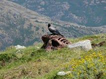 Predatory bird sitting on dead horse - Gennargentu National Park Stock Image