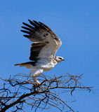 Predatory bird is sitting on a tree. Kenya. Tanzania. Stock Image