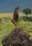 Predatory bird takes off from the ground. Kenya. Tanzania. Royalty Free Stock Photos