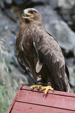 Predatory bird on wood. Big predatory bird on wood Royalty Free Stock Photos