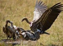 Predatory birds eat the prey in the savannah. Kenya. Tanzania. Royalty Free Stock Photos