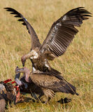 Predatory birds eat the prey in the savannah. Kenya. Tanzania. Stock Images