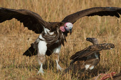 Predatory birds are fighting with each other for the prey. Kenya. Tanzania. Stock Photo