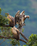 Predatory birds are sitting on a tree. Kenya. Tanzania. Royalty Free Stock Photography