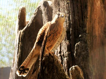 predatory fågel Royaltyfria Foton