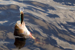 Predatory fish. Perch on hook in deep water Royalty Free Stock Photos