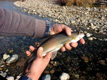 Predatory fish in hands. The European grayling, Thymallus thymallus, is one of most popular Stock Images