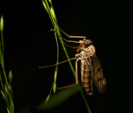 Predatory fly. The predatory fly, is photographed by close up Stock Photos