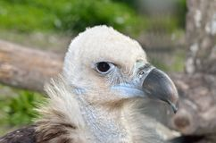 Predatory head of a black vulture close-up.  Stock Photography