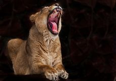 Predatory lioness with a wide open red hungry voracious mouth, the lioness growls baring fangs and a red tongue. Isolated on dark. A predatory lioness with a royalty free stock photo