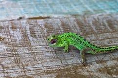 Predatory lizard Stock Photo
