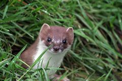 The predatory Mustela erminea, or English Stoat is a dangerous predtor. The English Stoat, Mustela erminea, is a ferocious but secretive hunter royalty free stock photography