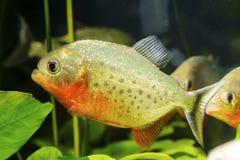 predatory pirani fish in the aquarium, Ukrein. 2018 stock photography
