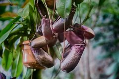 Predatory plant Nepenthes. Nepenthes. Little predatory plant with elongated leaves and hanging clusters of small pitchers Royalty Free Stock Photography